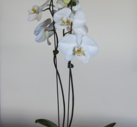 Beautiful Phalaenopsis Orchids